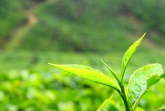 Close up of Fresh Green Leaves of Indian Tea Plant - Camellia Sinensis in Tea Estate. This is a close up photograph of fresh, green leaves of tea plant Stock Photo
