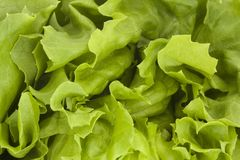 Close up of a fresh green lettuce Royalty Free Stock Images