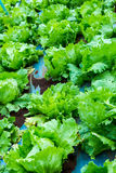 Close up of fresh green lettuce plant growing in agriculture far Stock Photography