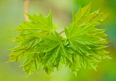 Close up of fresh green maple leaves Royalty Free Stock Image
