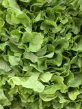 Close up fresh green oak lettuce display stock photography