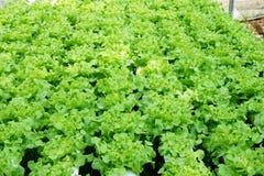 Fresh green oak plant in vegetable garden. Close up fresh green oak plant in vegetable garden Royalty Free Stock Photos