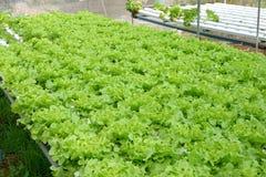 Fresh green oak plant in vegetable garden. Close up fresh green oak plant in vegetable garden Royalty Free Stock Image