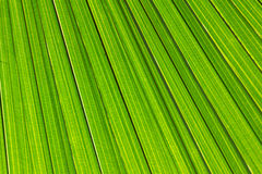 Close up fresh green Palm leaf texture. Close up Palm leaf texture Royalty Free Stock Photos
