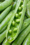 Close-up of fresh green pea pods with water drops. Green peas close up Stock Image