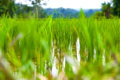Rice fields in Bali island, Ubud, Indonesia. royalty free stock photo