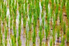 Rice fields in Bali island, Ubud, Indonesia. stock photo