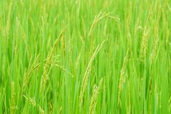 Close up fresh green rice plants Royalty Free Stock Images