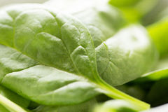 Close up of fresh green spinach leafs Stock Photos