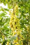 Fresh green star gooseberry tree in garden. Close up fresh green star gooseberry tree in garden Stock Photo
