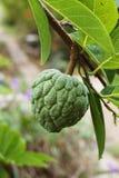 Fresh green Sugar Apple fruit in nature garden. Close up fresh green Sugar Apple fruit in nature garden Stock Image