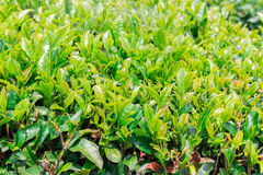 Close up fresh green tea leaves. Royalty Free Stock Photography