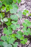 Fresh green water clover plant in nature garden. Close up fresh green water clover plant in nature garden stock images