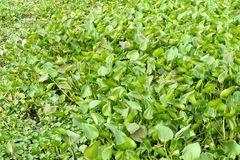 Fresh green water hyacinth plant in nature garden. Close up fresh green water hyacinth plant in nature garden Stock Photography
