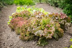 Close-up of fresh growing colorful lettuce in vegetable garden. flowering leaves red and green salad Stock Image