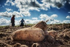 Close up of fresh harvested potatoes on the field. Fresh harvested potatoes on the field, dirt after harvest at organic family farm. Blue sky and clouds, workers stock photo