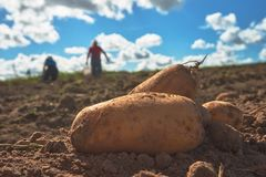 Close up of fresh harvested potatoes on the field. Fresh harvested potatoes on the field, dirt after harvest at organic family farm. Blue sky and clouds, workers stock photos