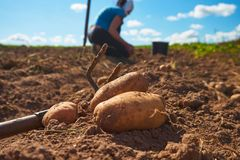 Close up of fresh harvested potatoes on the field. Fresh harvested potatoes on the field, dirt after harvest at organic family farm. Workers work on the field stock photo