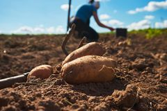 Close up of fresh harvested potatoes on the field. Fresh harvested potatoes and garden fork on the field, dirt after harvest at organic family farm. Workers work royalty free stock image