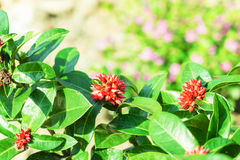 Close-up of fresh ixora red flowers plant in garden Stock Photography