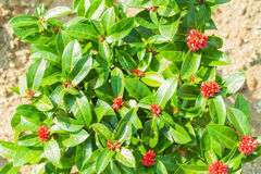 Close-up of fresh ixora red flowers plant in garden Royalty Free Stock Photo