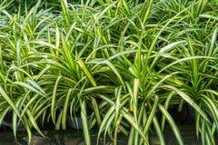 Close up of fresh leaves Chlorophytum comosum plant Stock Photography