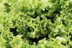 Close up of fresh lettuce. Stock Photos