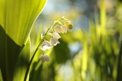 Lily of the valley in the forest on a sunnny spring morning. Close-up of fresh Lily of the valley in the forest backlit by the morning sun on a spring day stock images