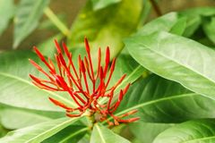 Closeup of fresh little Red Ixora flower in the garden Stock Images