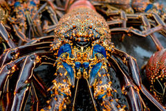 Close up of fresh lobsters of santa cruz in market seafood photographed in fish market, galapagos.  Royalty Free Stock Image