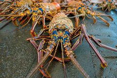 Close up of fresh lobsters of santa cruz in market seafood photographed in fish market, galapagos.  Stock Photo