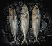 Close up fresh mackerel fish in ice on dark background, seafood market. Close up fresh mackerel fish in ice on dark background, seafood market Royalty Free Stock Photos