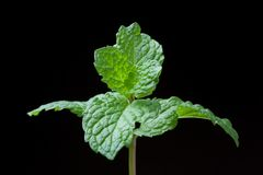 close-up of fresh mints leaves Stock Image