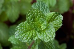 close-up of fresh mints leaves Royalty Free Stock Photo