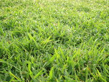 Close up of fresh morning dew on spring grass Royalty Free Stock Photography