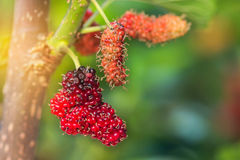 Close up fresh mulberry fruits (black mulberry, blackberry, Morus nigra) Royalty Free Stock Photography