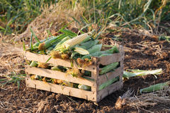 Close up fresh nature sweet corn in wood box on the field of organic eco farm. Close up fresh nature corn in wood box on the field of organic eco farm. Organic Royalty Free Stock Image