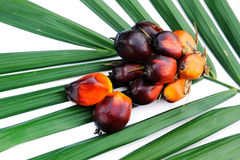 Close up of fresh oil palm fruits Stock Image
