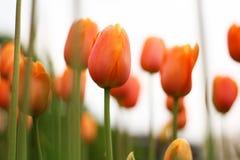 Close up of fresh orange tulips Royalty Free Stock Photo