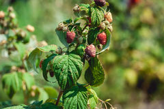 Close up of fresh organic berries with green leaves on raspberry cane. Summer garden in village. Royalty Free Stock Images