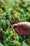 Close up of fresh organic berries with green leaves on raspberry cane. Summer garden in village. Royalty Free Stock Photo
