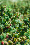 Close up of fresh organic berries with green leaves on raspberry cane. Summer garden in village. Stock Photos