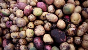 Close up of fresh organic potatoes in the field stock footage