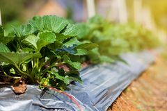 Close up of fresh organic strawberries growing on the plantation on a sunny day. Stock Image