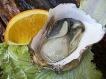 Close up of fresh oysters Stock Photography