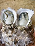 Close up of fresh oysters Royalty Free Stock Photography