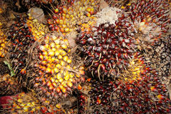 Close up of fresh Palm Oil seeds and cooking oil Royalty Free Stock Image