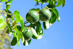 Close up of fresh passion fruit, royalty free stock images