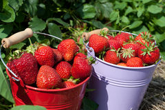 Close up fresh-picked strawberries Royalty Free Stock Photo