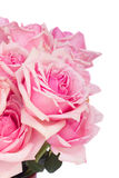 Close up of fresh pink garden roses Stock Photography